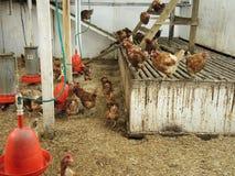 Speicherungszeit für die Hühner Stockfotos
