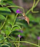 SpeisenAmazilia Kolibri Lizenzfreie Stockfotos
