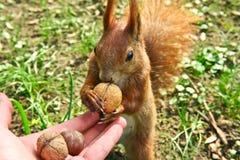 Speisendes rotes Eichhörnchen Stockbilder
