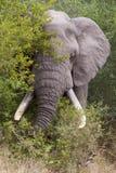 Speisenelefant lizenzfreie stockfotografie