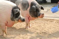Speisenschweine im Bauernhof Lizenzfreie Stockfotos