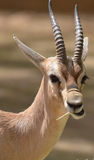 Speke gazela Fotografia Royalty Free
