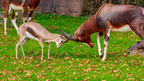 Speke gazelle headbutt with Bontebok Antelope Stock Image