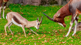 Speke gazelle headbutt with Bontebok Antelope Royalty Free Stock Images