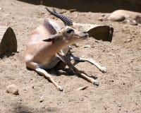 Speke's Gazelle. Sitting on the ground Royalty Free Stock Photos