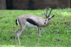 Speke's gazelle2 Stock Photography
