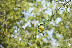 Speke's male weaver bird Royalty Free Stock Images