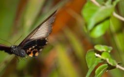 Spektakulär härlig fjäril på bladet av en växt Arkivfoto