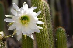 Spektakulär jätte- vit blom på en Echinopsis Schickendantzii kaktus med ett bi som får nektar från mitten av blom royaltyfri fotografi