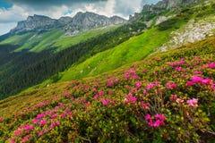 Spektakulär rosa rhododendron blommar i bergen, Bucegi, Carpathians, Rumänien fotografering för bildbyråer
