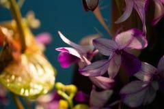 Spektakul?ra purpurf?rgade lilor i skugga royaltyfria bilder