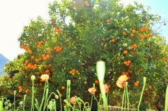 Spektakulärt och fantastiskt orange träd under solljuset bredvid vallmo royaltyfri foto