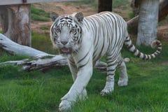 Spektakularny Biały tygrys pokazuje daleko swój eleganckich lampasy i można zdjęcie royalty free