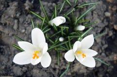 Spektakularny, kolorowa wczesna wiosna kwitnie w świetle słonecznym w ogródzie, selekcyjna ostrość, przestrzeń dla teksta obrazy stock