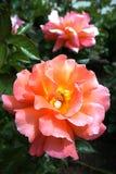 Spektakularny różowe róże w ogródzie różanym Retiro park Zdjęcia Royalty Free