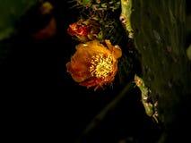 Spektakularny zamknięty w górę kaktusowego okwitnięcia zdjęcia stock