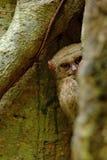 Spektralny Tarsier, Tarsius widmo, chujący portret rzadki nocturnal zwierzę w wielkim ficus drzewie, Tangkoko park narodowy, Su Fotografia Stock
