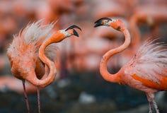 Spel twee volwassenen van de Caraïbische flamingo cuba Reserve Rio Maxim а stock afbeeldingen