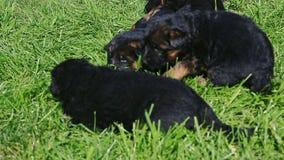 Spel van de herderspuppy van de panoramaclose-up het Duitse in groen gras stock videobeelden