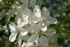 Spel van licht en schaduwen op witte bloemen van boom van de de lente de tot bloei komende appel Stock Afbeelding