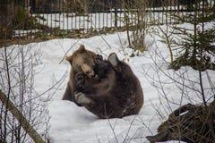 Spela brunbjörnsyskon på snön fotografering för bildbyråer