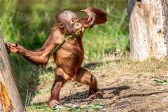 Spela en som äter ung orangutang-oetan royaltyfria foton