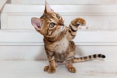 Spela för Bengal kattunge Arkivbild