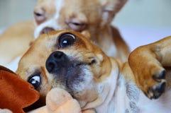 Spela för Chihuahua Royaltyfri Foto