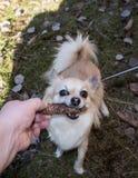 Spela för Chihuahua arkivfoton