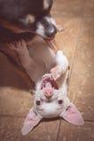 Spela för Chihuahuas Royaltyfri Bild