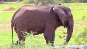 Spela för elefant stock video