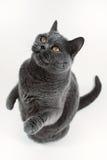 Spela för Gray British Shorthair katt Royaltyfri Bild