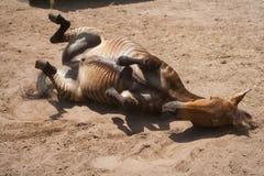 Spela för häst, bland mellan sebran och en sort av den inhemska hästen Arkivbilder