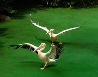 Spela för pelikan Royaltyfria Foton