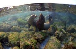 Spela för sjölejonvalper som är undervattens- Royaltyfri Fotografi