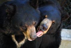 Spela för svarta björnar Royaltyfri Bild