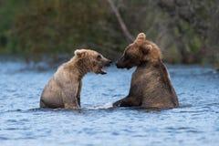 Spela för två alaskabo brunbjörnar royaltyfria foton