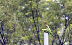 Spela för två papegoja Arkivbild