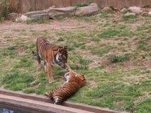 Spela för två tigergröngölingar Arkivfoto