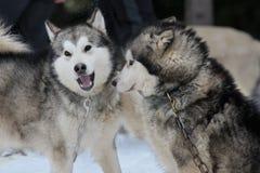 Spela för alaskabo malamute Fotografering för Bildbyråer