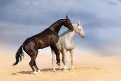 Spela för två häst Fotografering för Bildbyråer