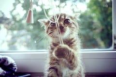 Spela kattungen Royaltyfri Bild