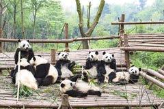 Spela Panda Bears, Panda Breeding Center, Chengdu, Kina Arkivfoton