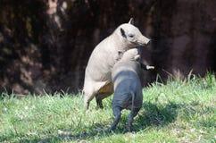 Spela pigs2 royaltyfria foton