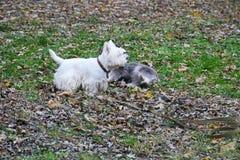 Spelar vita terrier för den västra höglandet i en parkera Fotografering för Bildbyråer