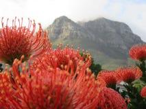 Speldenkussen Protea stock afbeelding