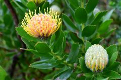 Speldenkussen Protea, Stellenbosch, Zuid-Afrika stock afbeeldingen