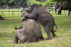 Spelen van de Olifanten van de baby het Aziatische Stock Foto's