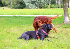 Spelen van honden Lopende Honden Stock Fotografie