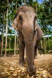 Spelrum för elefantfamiljgruppen och äter tillsammans Fotografering för Bildbyråer